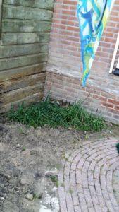 Cultivando cebollas en el jardín, por María.